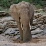 Elephant Drinking from a Sand Well