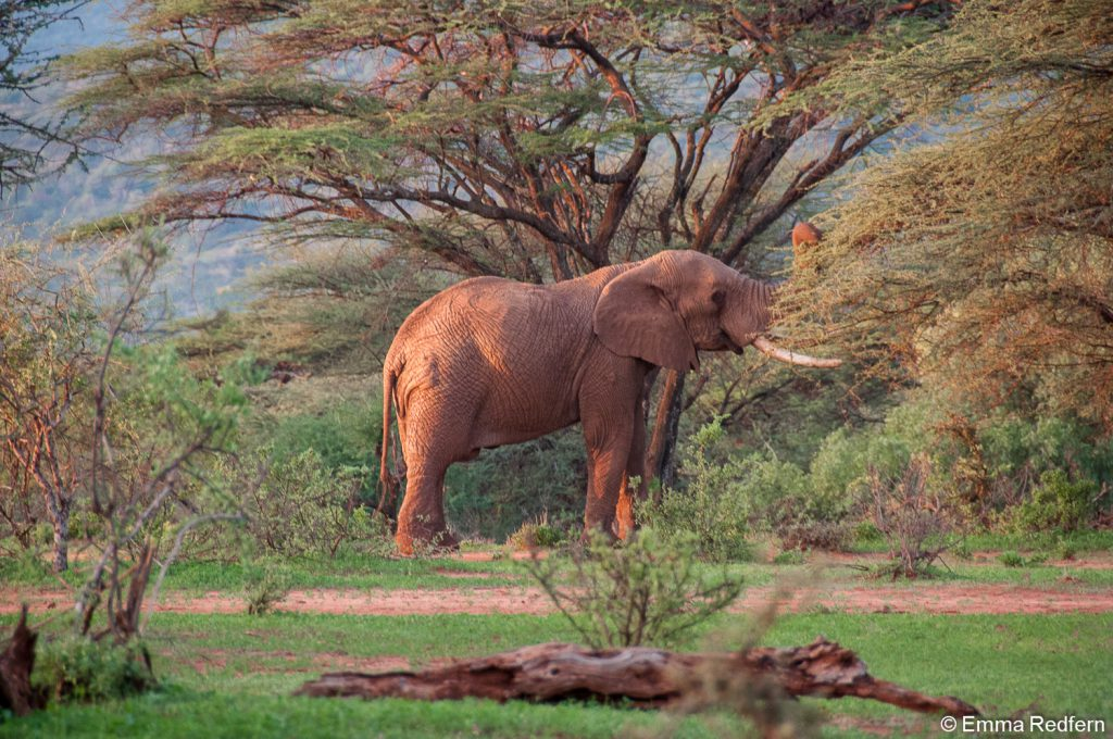 Elephant chewing a tree in the school