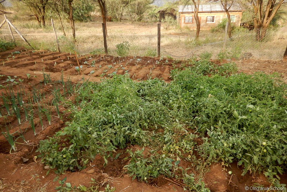 The elephant also trampled a lot of tomato plants