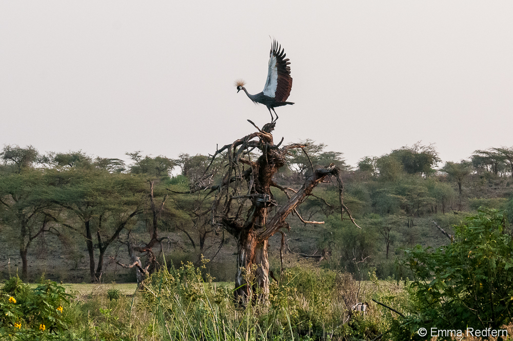 Grey crowned crane landing on a dead tree in the marsh