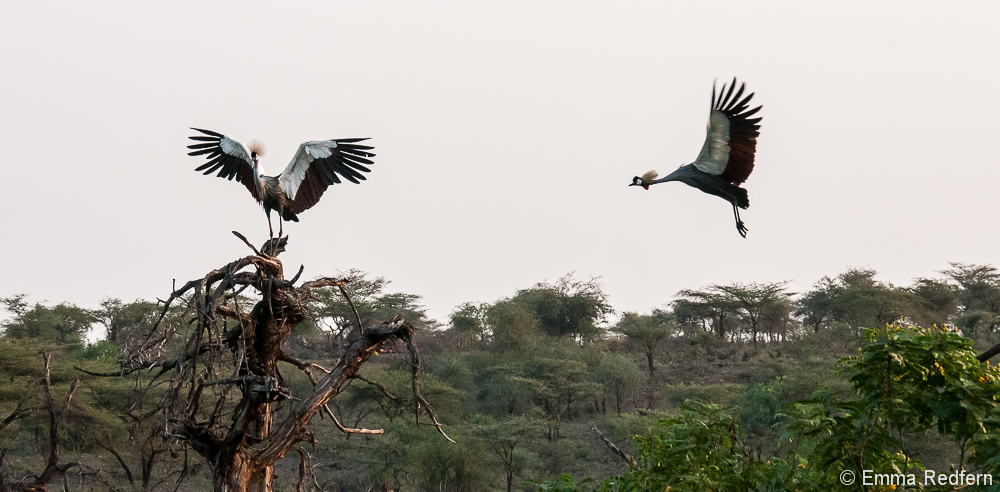 Crowned crane coming in to land