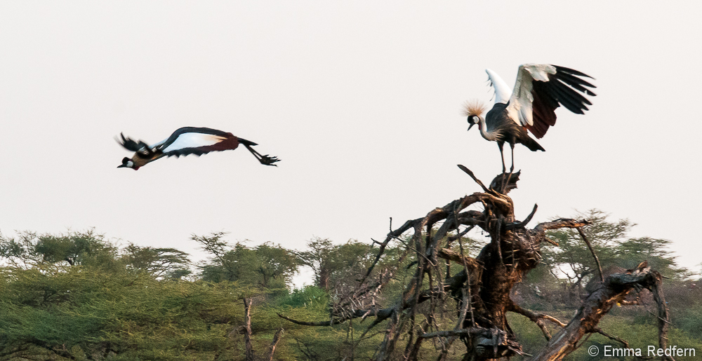 Crowned crane in flight