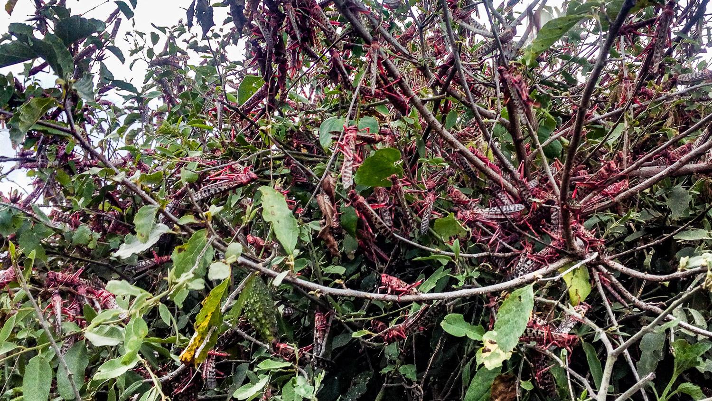 Locusts feeding at Olng'arua School