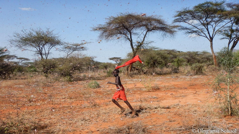chasing locusts