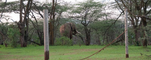 Can elephants do the high jump?