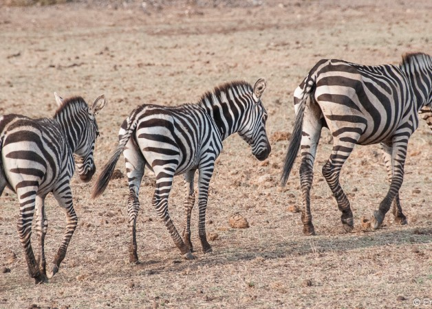 Zebra Tragedy at Olng'arua