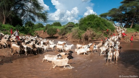 Goats crossing at the junction of the Sirgon and Ngare Ndare Rivers